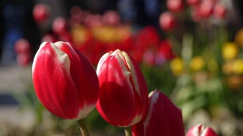 tulip_not_markant.jpg